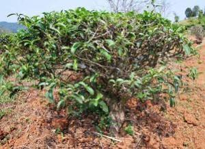 DMS Bai Yai Assamica Gruener Tee - junges Assamica-Teebäumchen in Nordthailand