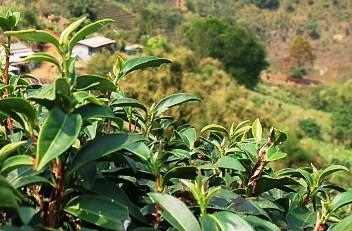Jin Xuan Nr. 12 Tee-Kultivar in unserem Teegarten in Doi Mae Salong, Nordthailand