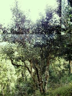 Camellia Sinensis Assam